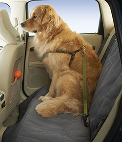 dog in seat belt tether, back seat